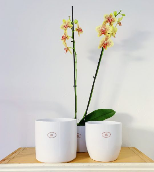 Orchid Myst and Bark